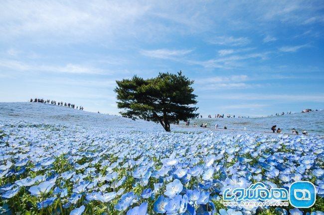 پارک هیتاچی؛ بهشتی از گلهای رنگارنگ در ژاپن